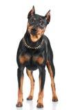 Black pincher dog Stock Photo