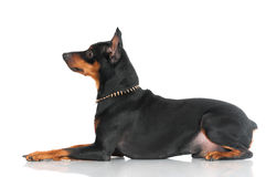 Black pincher dog Stock Photography