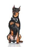 Black pincher dog Royalty Free Stock Photos