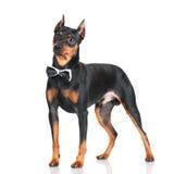 Black pincher dog Stock Photos