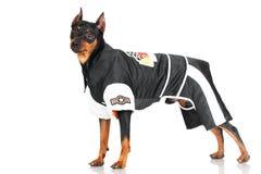 Black pincher dog. On white background Royalty Free Stock Images