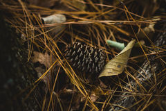 Black Pincone on Brown Dried Leaves Stock Images