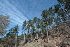 Black Pine Stock Photography