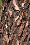 Black pine barck texture detail Royalty Free Stock Images