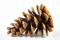 Free Black Pine Cone - Pinus Nigra Arn. Cones That Fell To The Ground From A Tree On A White Table Stock Images - 150452744