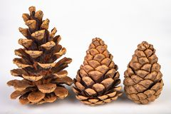 Free Black Pine Cone - Pinus Nigra Arn. Cones That Fell To The Ground From A Tree On A White Table Royalty Free Stock Image - 150458456