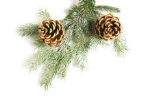 Black pine cones Stock Image