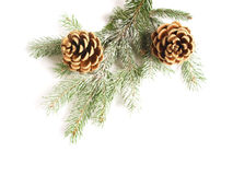 Black pine cones Royalty Free Stock Images