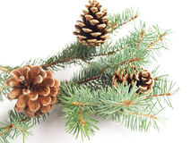 Black pine cones Stock Images