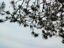 Black pine needles on the white royalty free stock photography