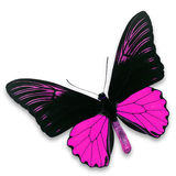 Black and pink butterfly. A beautiful black and pink butterfly isolate on white background Royalty Free Stock Photos