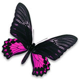 Black and pink butterfly. A beautiful black and pink butterfly isolate on white background Royalty Free Stock Images
