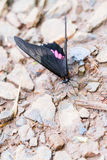 Black and pink butterfly. Close-up of black and pink butterfly at Iguazu Falls Stock Photography