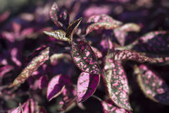 Black and pink leaves. Speckled close-up Royalty Free Stock Image