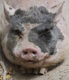 Black And Pink Pig Stock Images