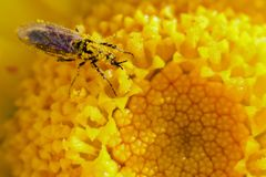 Ant on a dandelion royalty free stock image
