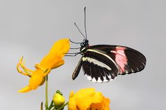 Black Pink and White Butterfly Perched on Yellow Flower Petal stock photo