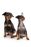 Black pinscher puppy. Two black pinscher puppies on wite background Stock Images