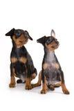 Black pinscher puppy Stock Images