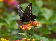 The black Pipevine Swallowtail butterfly feeding Stock Photography