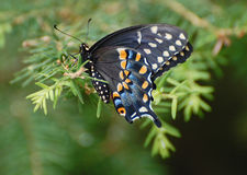 Black Pipevine Swallowtail butterfly with orange and white spots. Resting on a pine branch. These butterflies fly from April until early Fall Royalty Free Stock Photos