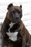 Black pit bull Royalty Free Stock Photo