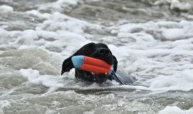 Black Pit Bull dog fetching a toy at dog beach. Black Pitt Bull dog fetching a toy at dog beach in Orange County california Stock Image