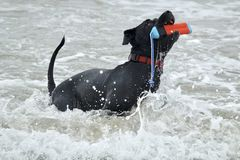 Black Pit Bull dog fetching a toy out of the water. And splashing in the waves at dog beach in Huntington Beach california Royalty Free Stock Image