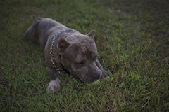 Black Pit Bull. On the grass Stock Photos