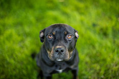 Black pit bull with puppy eyes Royalty Free Stock Photo