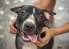 Black Pit bull puppy looking smile funny sitting on concrete background Stock Photography