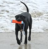 Black Pit bull running on the beach with a toy in his mouth. At dog beach Orange County california Stock Images