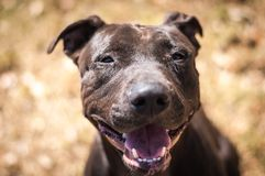 Smiling Shelter Dog. Black pit bull smiles as he is able to get out of the shelter for just a little bit Royalty Free Stock Images