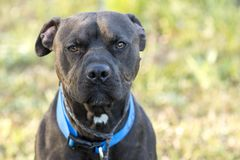 Black Pitbull dog with blue collar. Male black American Pitbull Terrier with blue collar outside on leash. Dog rescue pet adoption photography for Walton County stock photo