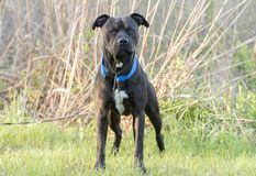 Black Pitbull dog with blue collar. Male black American Pitbull Terrier with blue collar outside on leash. Dog rescue pet adoption photography for Walton County royalty free stock image