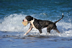 Black pitbull dog playing, running on sea wave on the beach Stock Photo