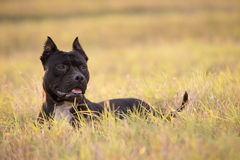 Black Pitbull. On yellow field royalty free stock images
