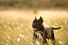 Black pitbull. Yong black pitbull on field Royalty Free Stock Photography