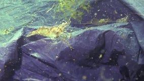 Black plastic bag in the sea, the killer of sea fish and animals. Plastic debris, environmental pollution, death of aquatic inhabi. Tants. Black Sea, Ukraine stock video