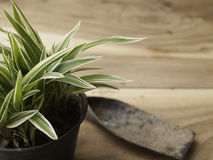 Black plastic pot of Chlorophytum comosum with spade on wood bac Stock Images