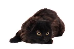 Black Playful Kitten. A long haired black kitten Stock Photos