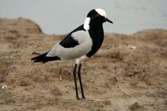 Black Plover Bird. A black and white plover bird with a striking red eye Stock Image