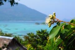 Black Plum's Flower Syzygium Royalty Free Stock Images