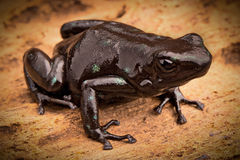 Black poison arrow frog Stock Image