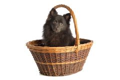 Black pomeranian dog in basket. On white background stock photos