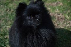 Black pomeranian dog. With green background royalty free stock photography