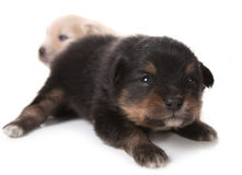Black Pomeranian Newborn Puppy on White Royalty Free Stock Photo