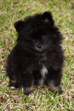 Black Pomeranian Puppy. Little black less than 4 month old pomeranian puppy poses for the camera stock images