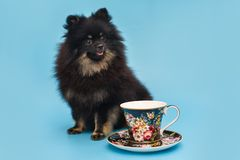 Black Pomeranian puppy and Cup with saucer. On blue background royalty free stock photos
