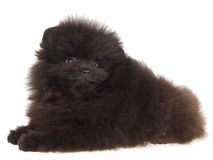 Black Pomeranian puppy on white background Royalty Free Stock Photos
